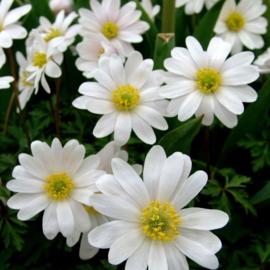Anemone White Splendour - 25 stuks