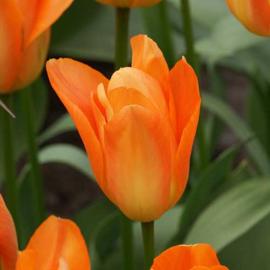Tulp Orange Emperor - 10 stuks