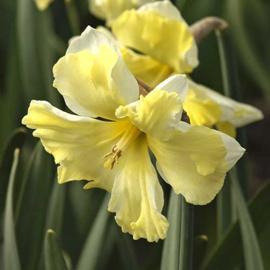 Narcis Cassata - 8 stuks
