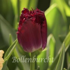 Tulp Purple Crystal - 10 stuks