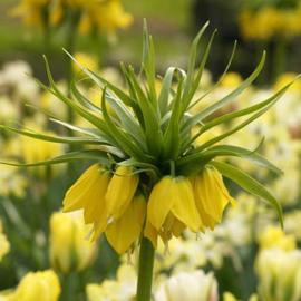 Fritillaria Lutea - 2 stuks