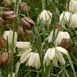 Fritillaria Meleagris - 15 stuks