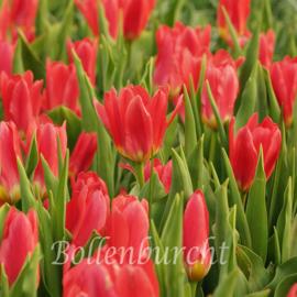 Tulp Scarlet Baby - 15 stuks