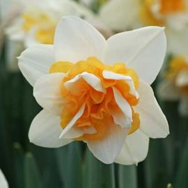 Narcis Sweet Desire - 8 stuks