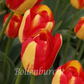 Tulp Princess Margaret Rose - 10 stuks