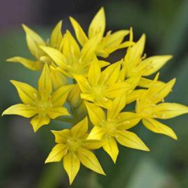 Allium Moly - 30 stuks