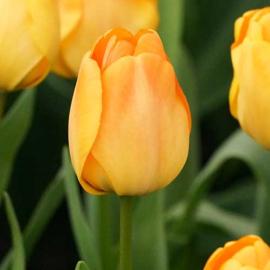 Tulp Daydream - 10 stuks