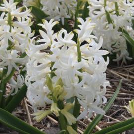 Hyacint White Pearl - 6 stuks