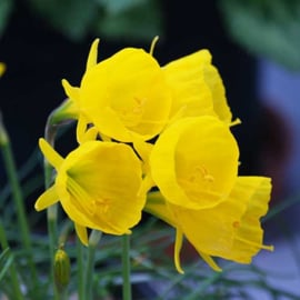 Narcis Bulbocodium Oxford Gold  - 15 stuks