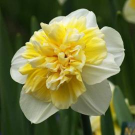 Narcis White Lion - 8 stuks