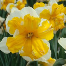 Narcis Orangery - 10 stuks