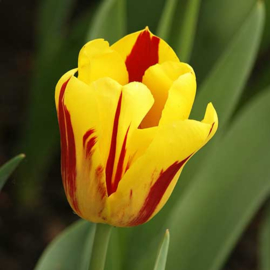 Tulp Washington - 10 stuks