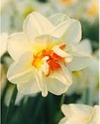 Narcis Flowerdrift - 10 stuks