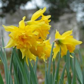 Narcis Van Sion - 10 stuks
