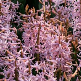 Hyacint Multiflora Tatjana - 6 stuks