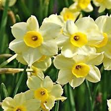 Narcis Minnow - 12 stuks