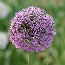 Allium Gladiator - 3 stuks