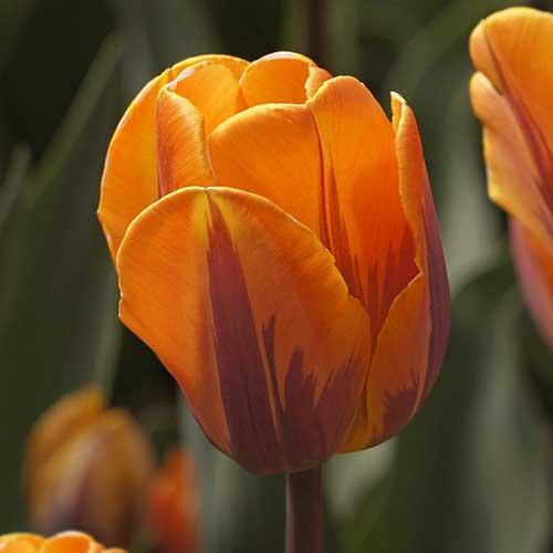Tulp Prinses Irene - 10 stuks