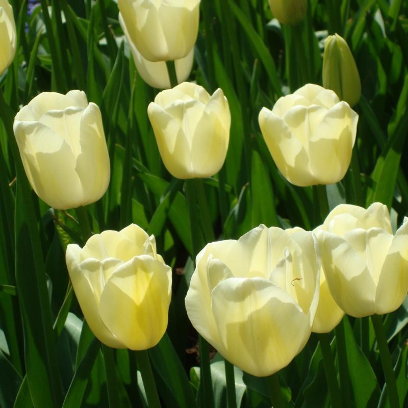 Tulp Maureen - 10 stuks