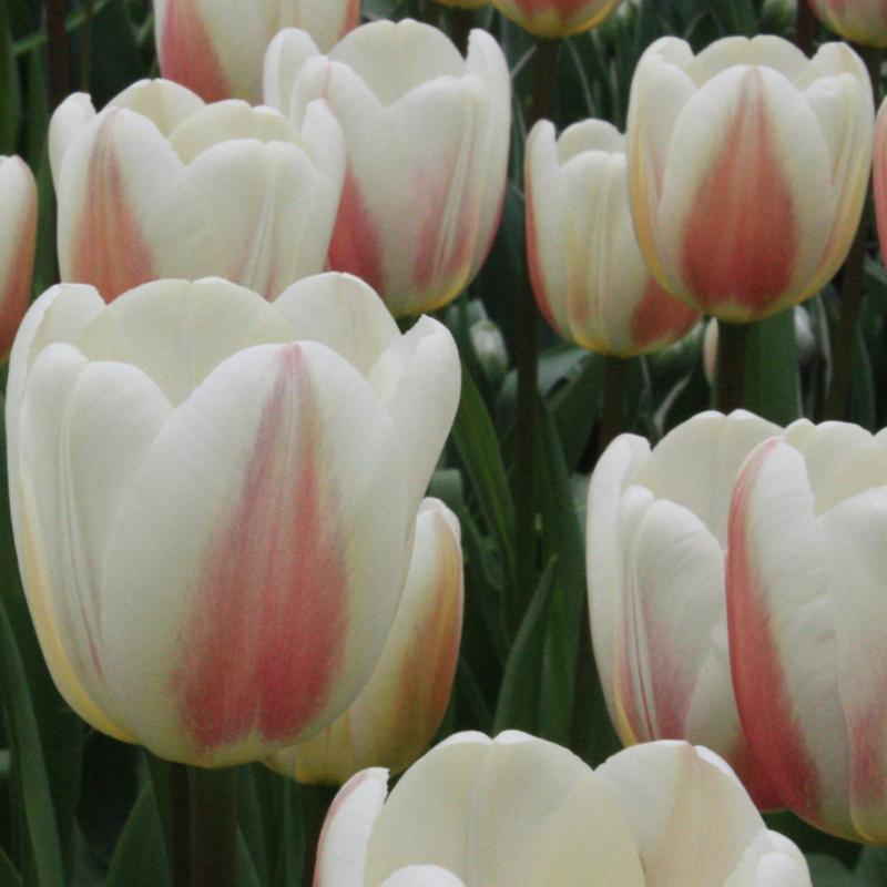 Tulp Beau Monde - 10 stuks