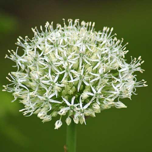 Allium Mount Everest - 2 stuks