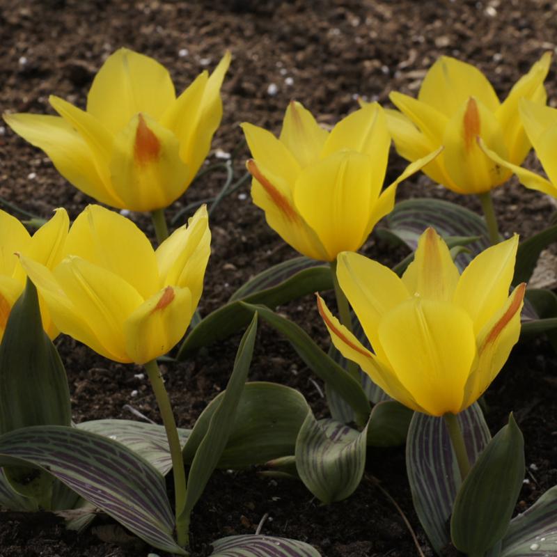 Tulp Berlioz - 10 stuks