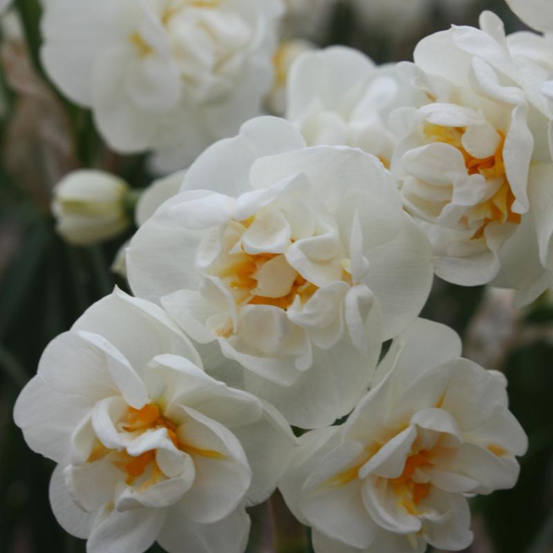 Narcis Bridal Crown - 10 stuks