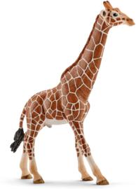 Giraffe mannetje