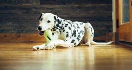 Hond en verveling | Corona virus