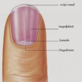 Anatomie en nagelziektes