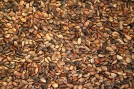 Blattner Semi di Pino D'aleppo Medio (Dennenzaad) 1kg (Kiefernsamen mittel/fein weich)
