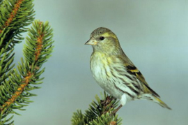 Blattner Siskin And Goldfinch Diet 1kg (Cardueliden-Diät Polar)