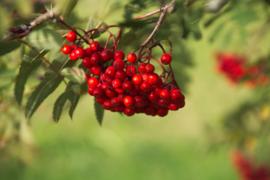 Blattner dried berries