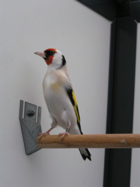 Blattner Goldfinch Major Light 15kg NeW!! (Stieglitz-Major-Light)