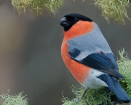 Blattner Germix Bullfinch/Pine Grosbeak 1kg (Germix - Gimpel)