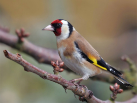 Blattner Goldfinch Special 1kg (Stieglitz-Major-Spezial)