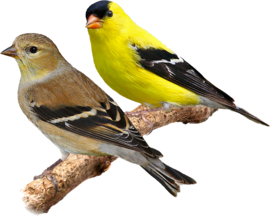 Blattner American Goldfinch/Black-headed Siskin Special 1kg (Zeisig - Schwarzbrust - Spezial)