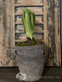 Hyacint met bol | Groen