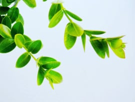 Hoya cumingiana *Ongewortelde stek*