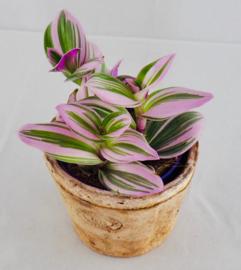 Tradescantia Albiflora Nanouk
