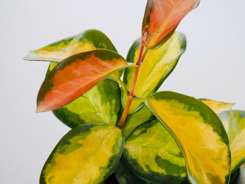 Hoya australis 'Lisa'