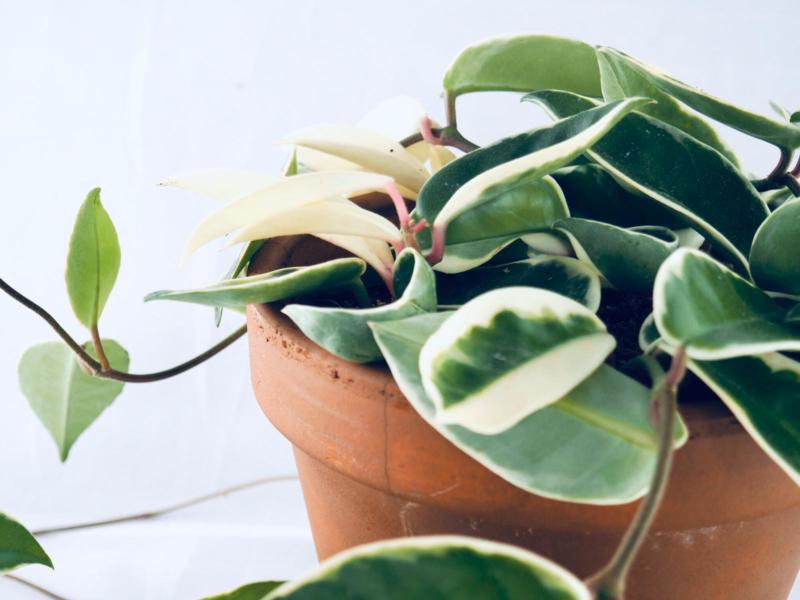 Hoya carnosa 'Krimson Queen' *Unrooted Cutting*