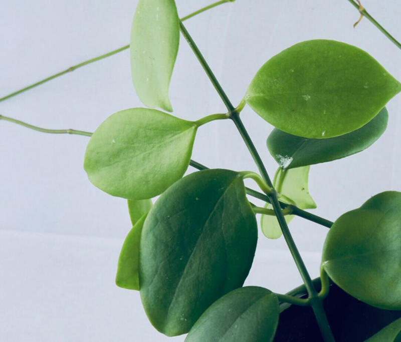 Hoya diptera *Ongeworterlde stek*