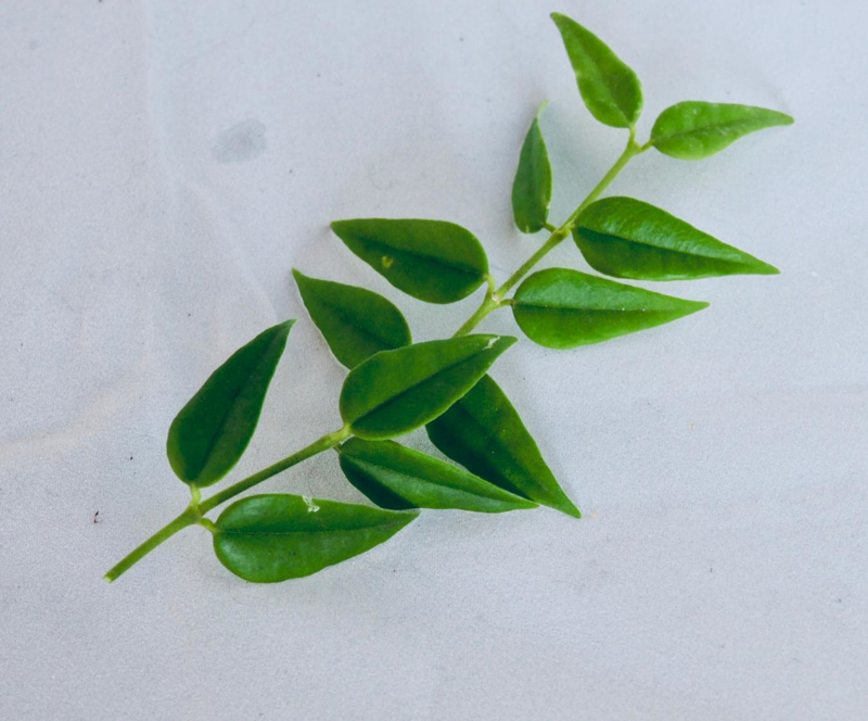 Hoya bella (ongewortelde stek)