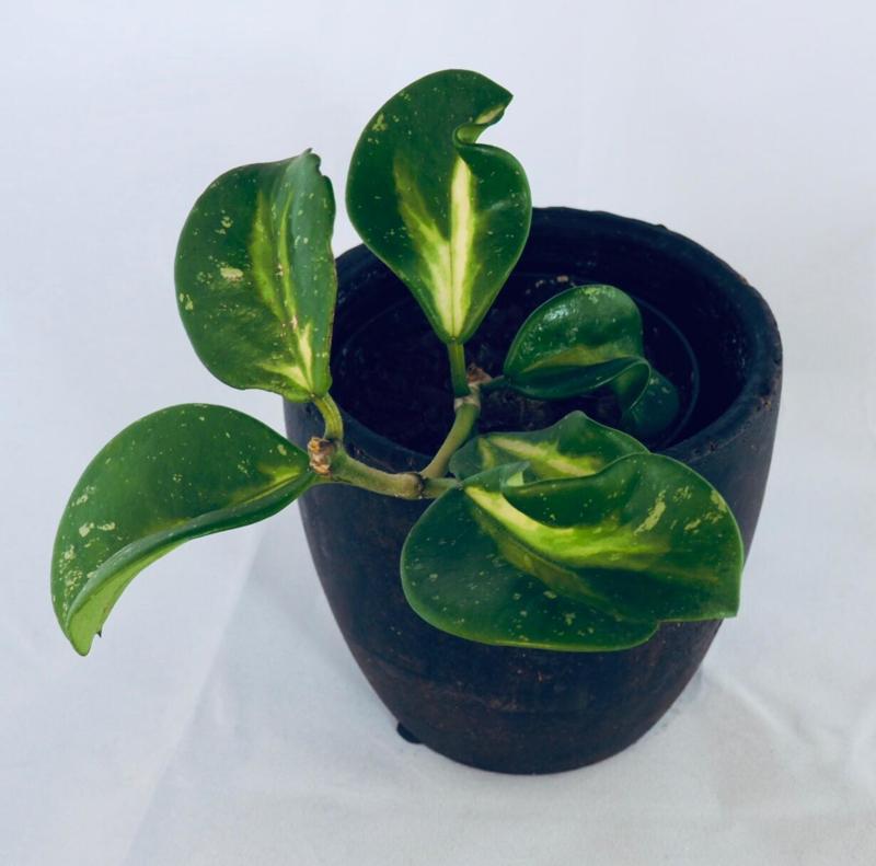 Hoya obovata 'Picta' variegata