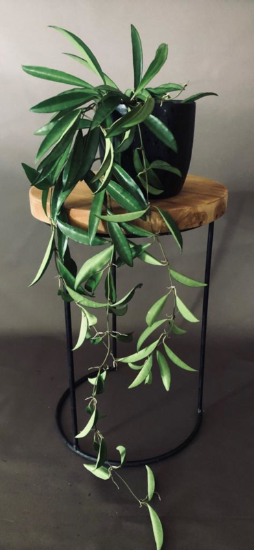 Hoya Longifolia  'china beans'(ongewortelde stek)