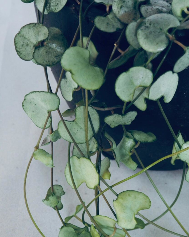 Ceropegia Woodii Silver Glory