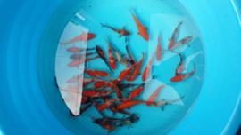 Abe koi mix 16-20 cm