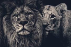 Lion couple 150x100 op acrylglas