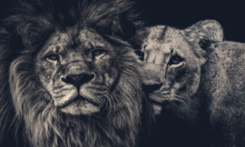 Lion couple 150x90 op aluminium dibond